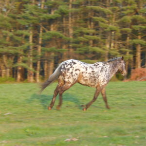 Rockette Horse Running in Field